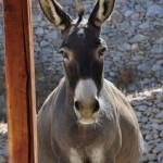 Amorgos-donkey